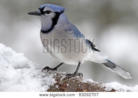 Blue Jay on a Winter Branch