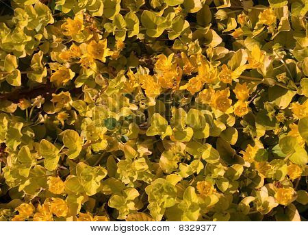 Carpet of yellow flowers
