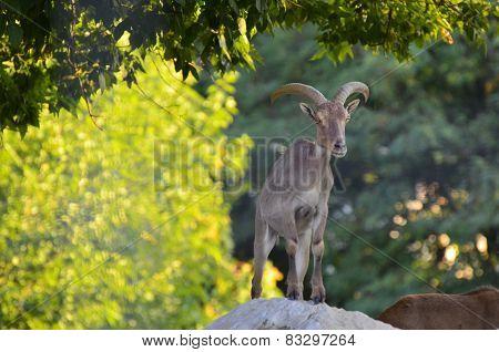 Ovis musimon on a rock