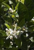 stock photo of orange blossom  - Orange blossom and green leaves of the orange bush or tree  - JPG