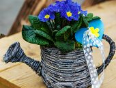 picture of primrose  - Blue Primrose in small wicker basket on wooden table