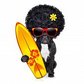 picture of bulldog  - french bulldog surfer dog holding a surfborad wearing afro flower power wig and red sunglasses isolated on white background - JPG