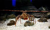 picture of panulirus  - Mediterranean spiny lobster  - JPG