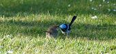 picture of courtesy  - Superb fairywren male feeding a female  as courtesy - JPG