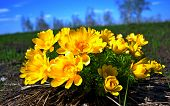 stock photo of rare flowers  - Adonis rare flower in a field in spring - JPG