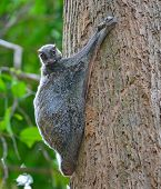 picture of rainforest animal  - Flying Lemur  - JPG