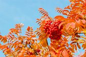 stock photo of rowan berry  - Red rowan leaves and berries against the blue sky - JPG