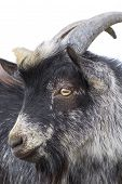 image of billy goat  - Portrait of black goat on a white background - JPG