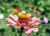 picture of hornworms  - hawk moth flying over pink flower  - JPG