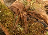 foto of exoskeleton  - Caribbean Golden Grey Tarantula  - JPG