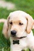 foto of labradors  - Close up of a cute yellow labrador puppy laying in the grass outdoors - JPG