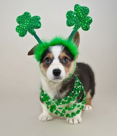 picture of corgi  - Silly Corgi puppy all dressed up for St Patrick - JPG