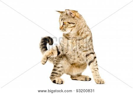 Funny playful cat Scottish Straight