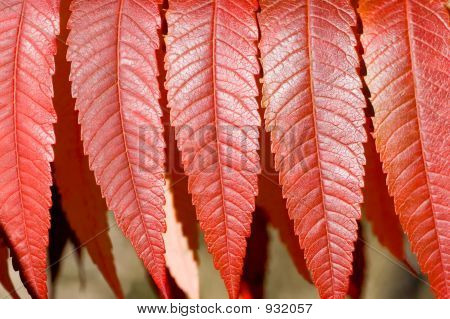 Sumach Leaves