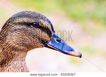 Close Up Of A Duck