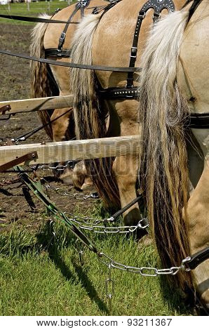 Horses harnessed and hitched