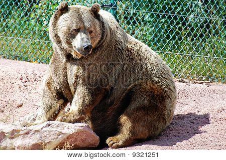 Papa Grizzly Bear
