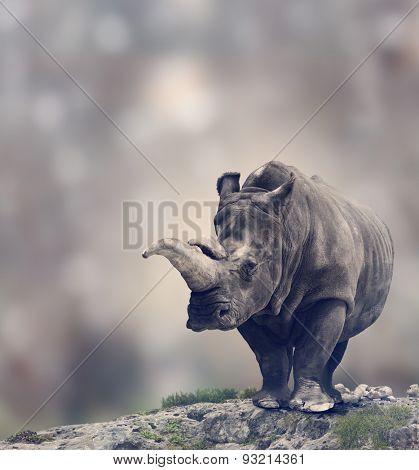 Portrait of Adult White Rhinoceros