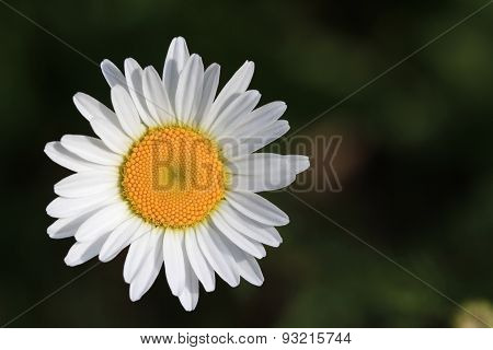 Ox-Eyed Daisy Flower