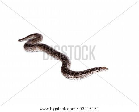 The nogai dwarf sand boa on white