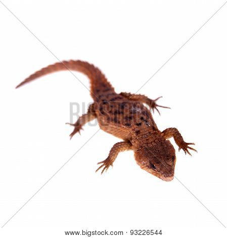 Transvaal Girdled Lizard on white background.