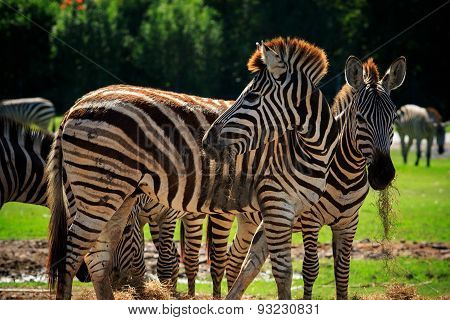 Wild Zebra Standing In Green Grass Field Against Beautiful Dusky Sky Use For Wild Life And Animals I