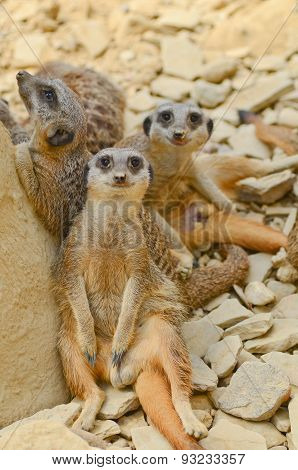 Meerkats Chilling Out