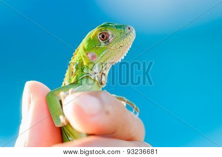 Closeup Shot Of A Baby Iguana Being Held By A Human Hand