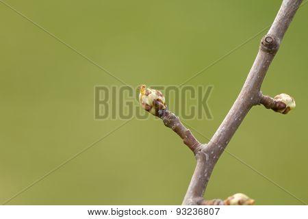 Pear Buds.