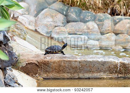 Turtle Or Tortoise On Stone
