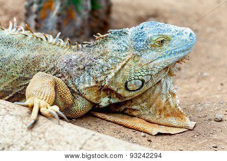 Closeup Of Iguana Or Lizard