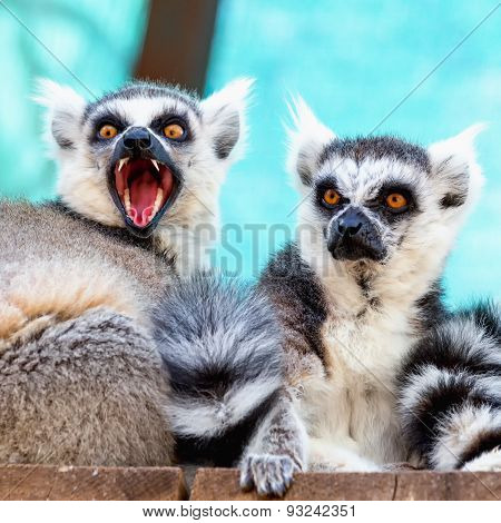Hungry And Angry Lemurs