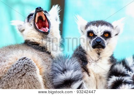 Angry And Hungry Lemurs