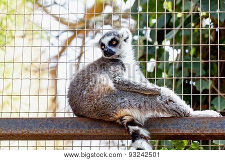 Lemur In Cell