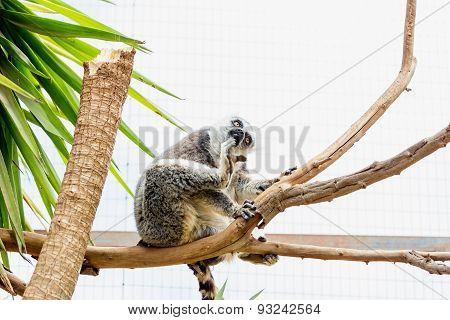 Lemur On Tree Branch