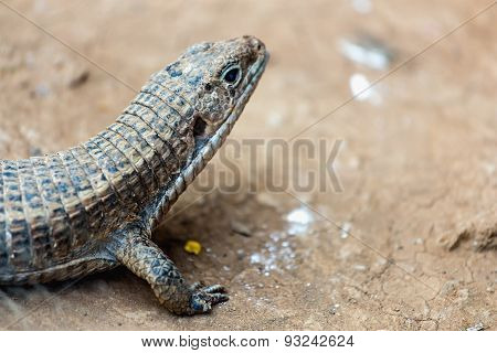Lizard Or Lacertian Reptile