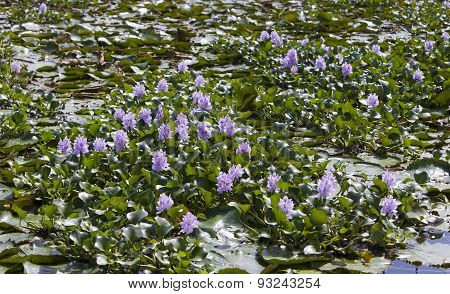 Jamaica. The blossoming hyacinths on the Black river (Eichornia crassipes)