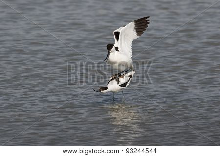 Pied avocets mating