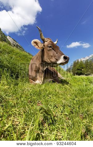 A beautiful dairy cow taking a break from grazing simply lying in the grass