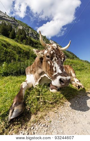 A beautiful dairy cow taking a break from grazing simply lying in the grass next to a hiking path in Switzerland.