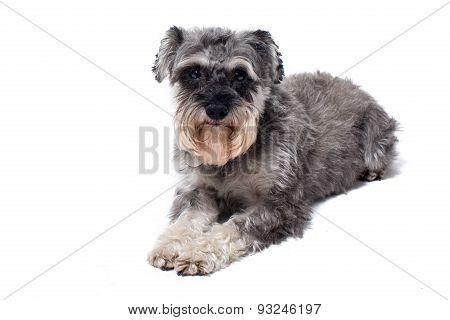 Miniature Schnauzer Terrier Lying Down