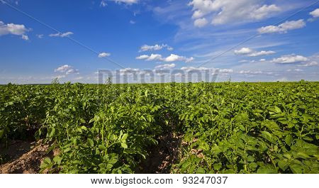 potato field