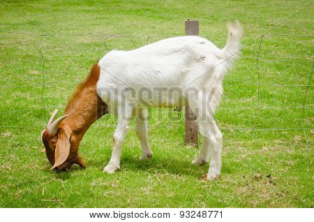 Goat Grazing At The Farm Yard