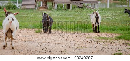 The Rear Ends Of Goats.