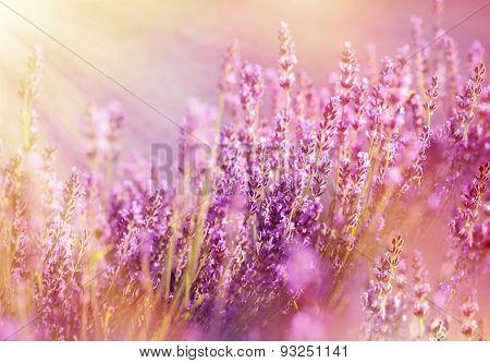 Lavender flowers lit by sun rays (sunbeams)