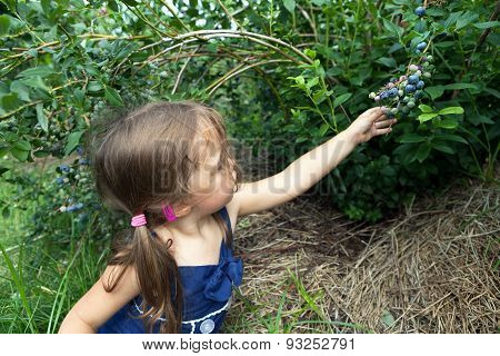 Little Girl Picking Blueberries