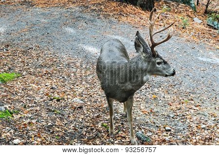 Deer In Yosemite National Park