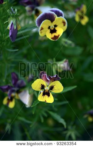 Tricolor Pansy flowers