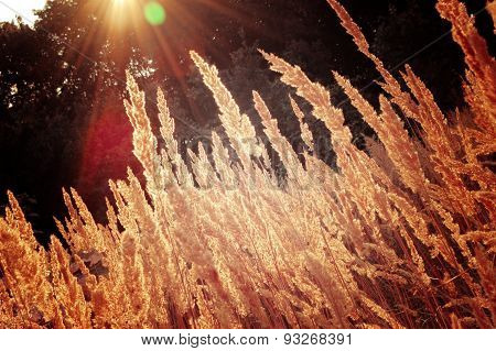 background dry grass with the sun