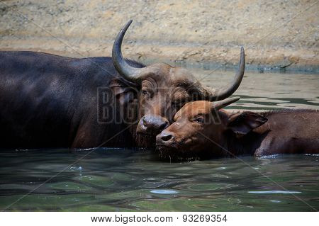 Lovely Face Of Mother And Young Kid Wild African Buffalo In Water Pool